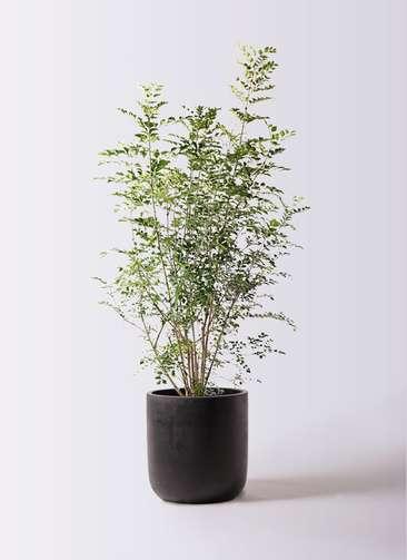 観葉植物 シマトネリコ 8号 エルバ 黒 付き