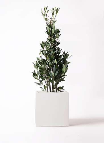 観葉植物 月桂樹 8号 バスク キューブ 付き