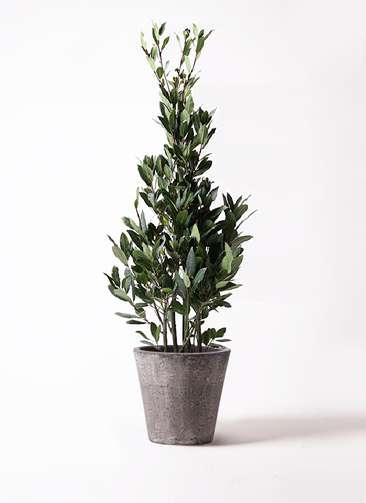 観葉植物 月桂樹 8号 フォリオソリッド ブラックウォッシュ 付き
