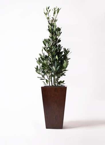 観葉植物 月桂樹 8号 MOKU スクエア 付き
