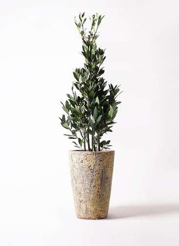観葉植物 月桂樹 8号 アトランティス クルーシブル 付き