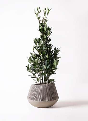 観葉植物 月桂樹 8号 エディラウンド グレイ 付き