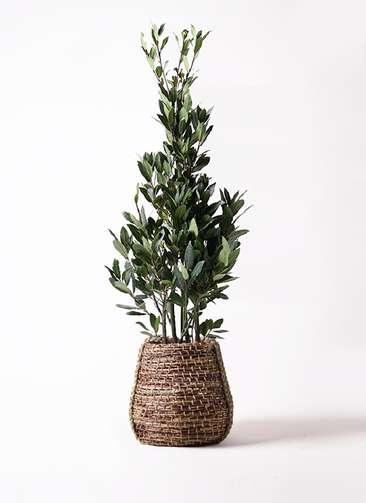 観葉植物 月桂樹 8号 リゲル 茶 付き