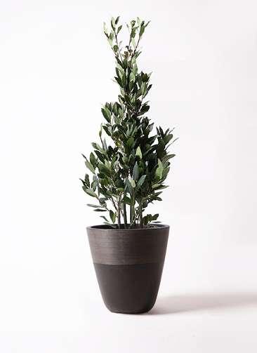 観葉植物 月桂樹 8号 ジュピター 黒 付き