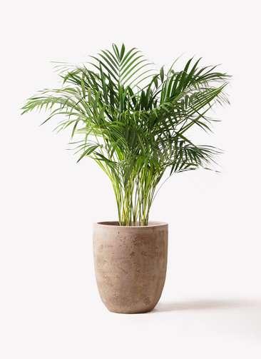 観葉植物 アレカヤシ 8号 ルーガ アンティコ アルトエッグ 付き