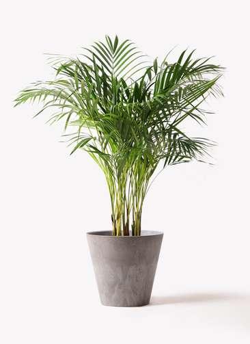 観葉植物 アレカヤシ 8号 アートストーン ラウンド グレー 付き