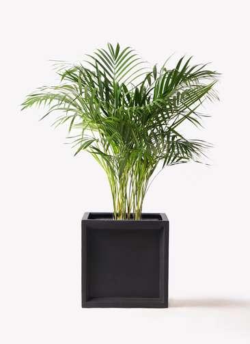 観葉植物 アレカヤシ 8号 ブリティッシュキューブ 付き
