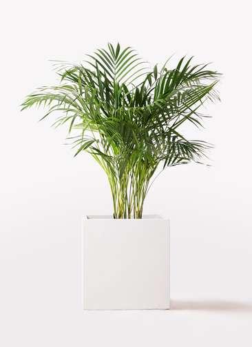 観葉植物 アレカヤシ 8号 バスク キューブ 付き