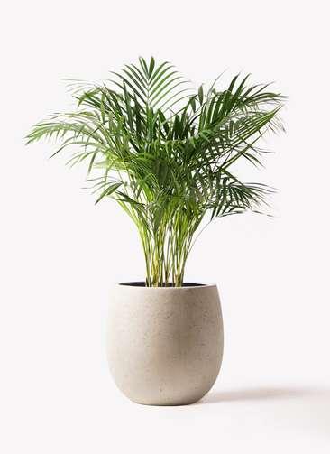 観葉植物 アレカヤシ 8号 テラニアス バルーン アンティークホワイト 付き