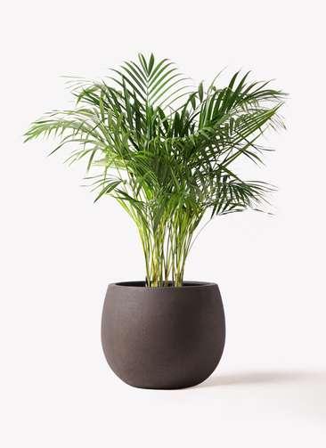 観葉植物 アレカヤシ 8号 テラニアス ローバルーン アンティークブラウン 付き