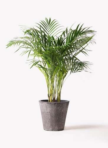 観葉植物 アレカヤシ 8号 フォリオソリッド ブラックウォッシュ 付き