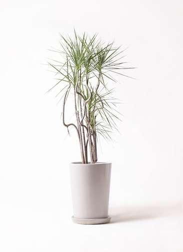 観葉植物 コンシンネ ホワイポリー 8号 曲り LO ラウンド 付き
