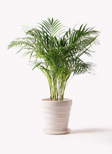 観葉植物 アレカヤシ 8号 サバトリア 白 付き