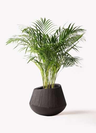 観葉植物 アレカヤシ 8号 エディラウンド 黒 付き