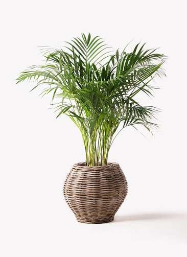 観葉植物 アレカヤシ 8号 グレイラタン 付き