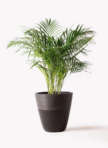 観葉植物 アレカヤシ 8号 ジュピター 黒 付き
