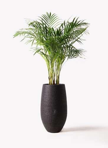 観葉植物 アレカヤシ 8号 フォンティーヌトール 黒 付き