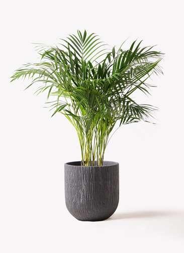 観葉植物 アレカヤシ 8号 カルディナダークグレイ 付き