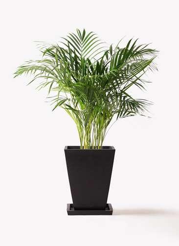 観葉植物 アレカヤシ 8号 パウダーストーン 黒 付き