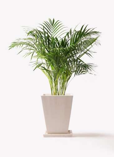 観葉植物 アレカヤシ 8号 パウダーストーン 白 付き