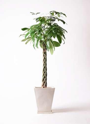 観葉植物 パキラ 10号 ねじり スクエアハット 白 付き
