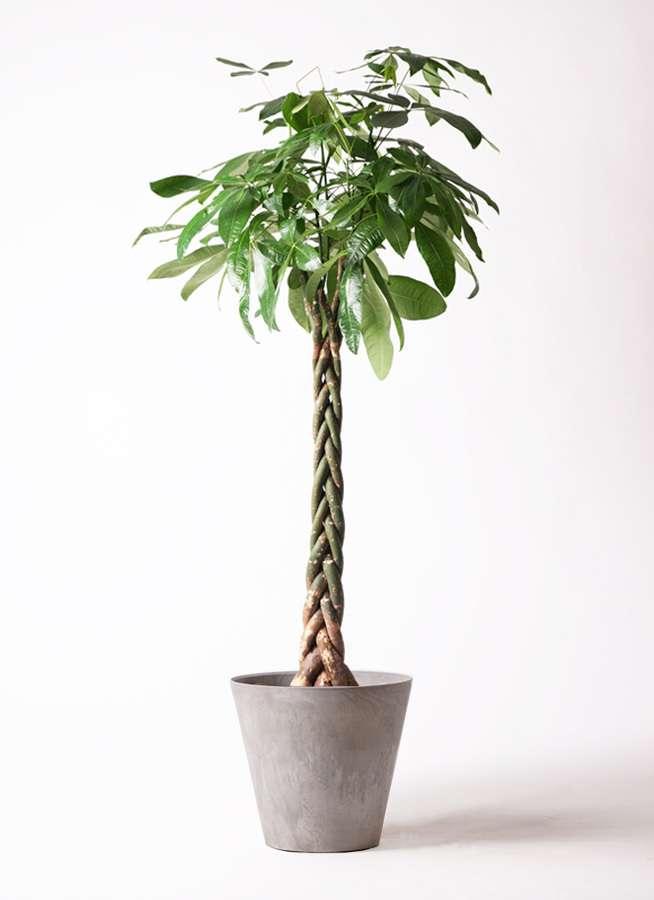 観葉植物 パキラ 10号 ねじり アートストーン ラウンド グレー 付き