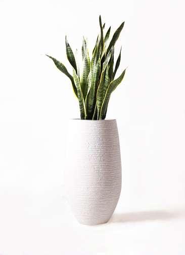 観葉植物 サンスベリア 8号 トラノオ フォンティーヌトール 白 付き