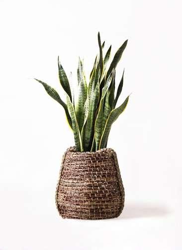 観葉植物 サンスベリア 8号 トラノオ リゲル 茶 付き