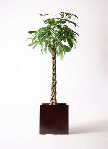 観葉植物 パキラ 10号 ねじり MOKU キューブ 付き
