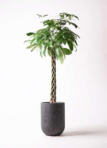 観葉植物 パキラ 10号 ねじり カルディナトールダークグレイ 付き
