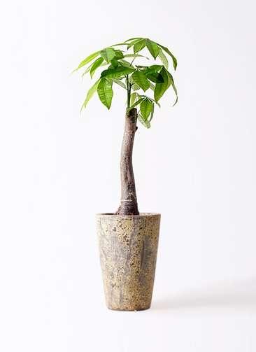 観葉植物 パキラ 8号 朴 アトランティス クルーシブル 付き