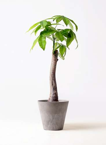 観葉植物 パキラ 8号 朴 アートストーン ラウンド グレー 付き