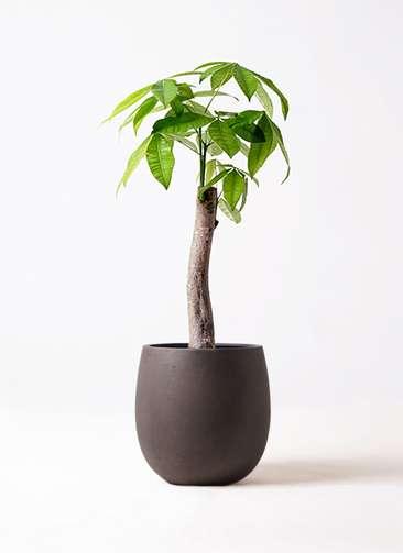 観葉植物 パキラ 8号 朴 テラニアス バルーン アンティークブラウン 付き
