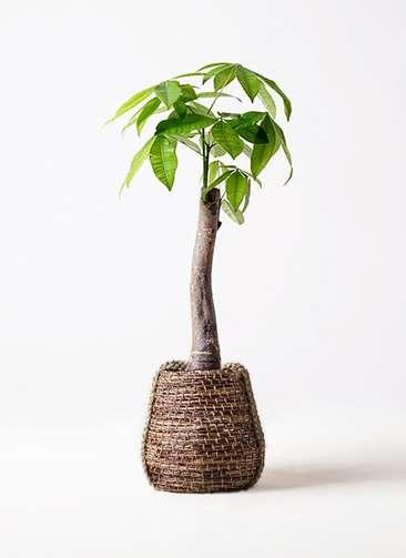 観葉植物 パキラ 8号 朴 リゲル 茶 付き