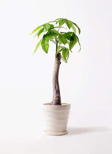 観葉植物 パキラ 8号 朴 サバトリア 白 付き