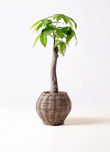 観葉植物 パキラ 8号 朴 グレイラタン 付き