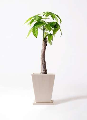 観葉植物 パキラ 8号 朴 パウダーストーン 白 付き