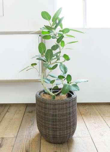 観葉植物 フィカス ベンガレンシス 8号 曲り ウィッカーポット エッグ NT 茶 付き
