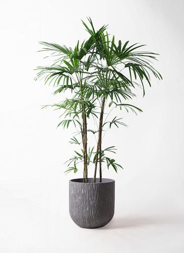 観葉植物 シュロチク(棕櫚竹) 10号 カルディナダークグレイ 付き