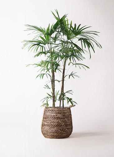 観葉植物 シュロチク(棕櫚竹) 10号 リゲル 茶 付き
