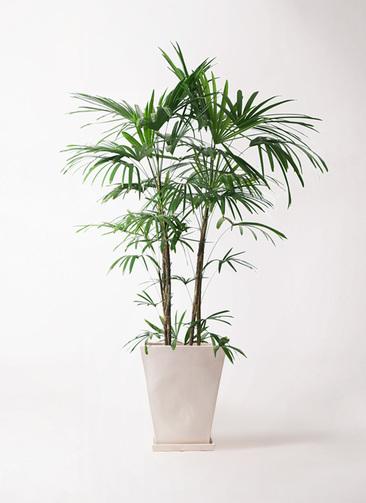 観葉植物 シュロチク(棕櫚竹) 10号 スクエアハット 白 付き