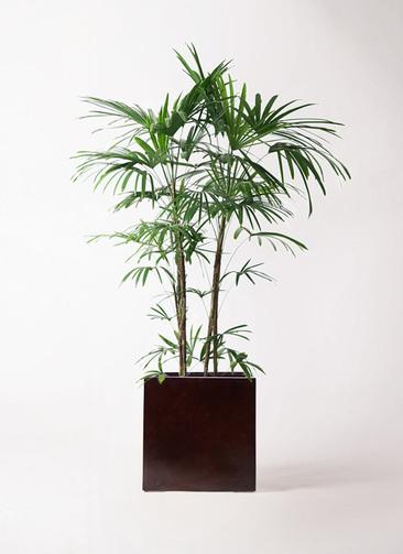観葉植物 シュロチク(棕櫚竹) 10号 MOKU キューブ 付き