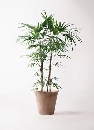 観葉植物 シュロチク(棕櫚竹) 10号 ルーガ アンティコ ソリッド 付き