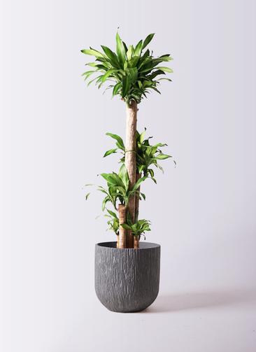 観葉植物 ドラセナ 幸福の木 10号 ノーマル カルディナダークグレイ 付き