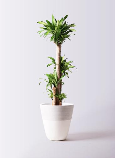観葉植物 ドラセナ 幸福の木 10号 ノーマル ジュピター 白 付き