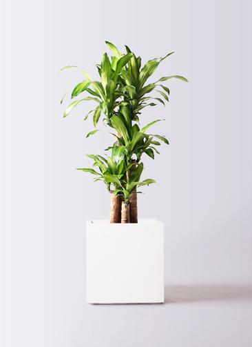 観葉植物 ドラセナ 幸福の木 8号 ノーマル バスク キューブ 付き