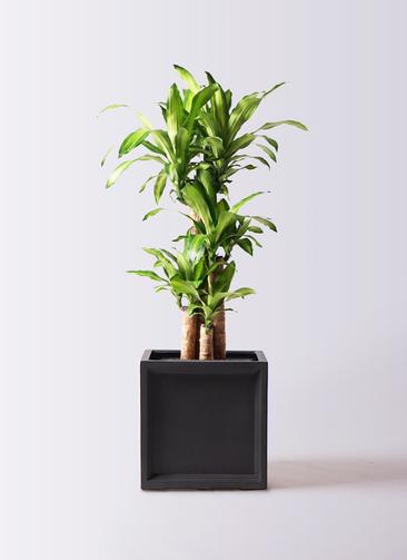 観葉植物 ドラセナ 幸福の木 8号 ノーマル ブリティッシュキューブ 付き