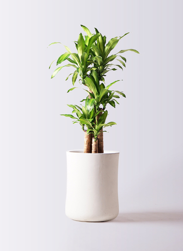 観葉植物 ドラセナ 幸福の木 8号 ノーマル バスク ミドル ホワイト 付き