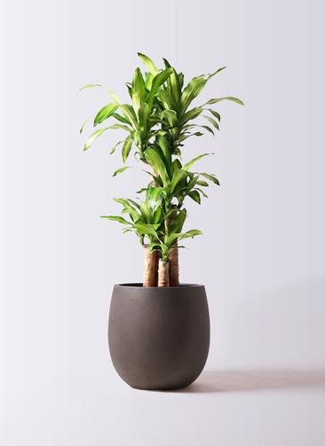 観葉植物 ドラセナ 幸福の木 8号 ノーマル テラニアス バルーン アンティークブラウン 付き