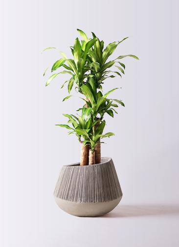 観葉植物 ドラセナ 幸福の木 8号 ノーマル エディラウンド グレイ 付き